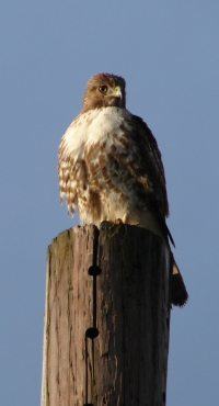 red tailed hawk juvenile 200